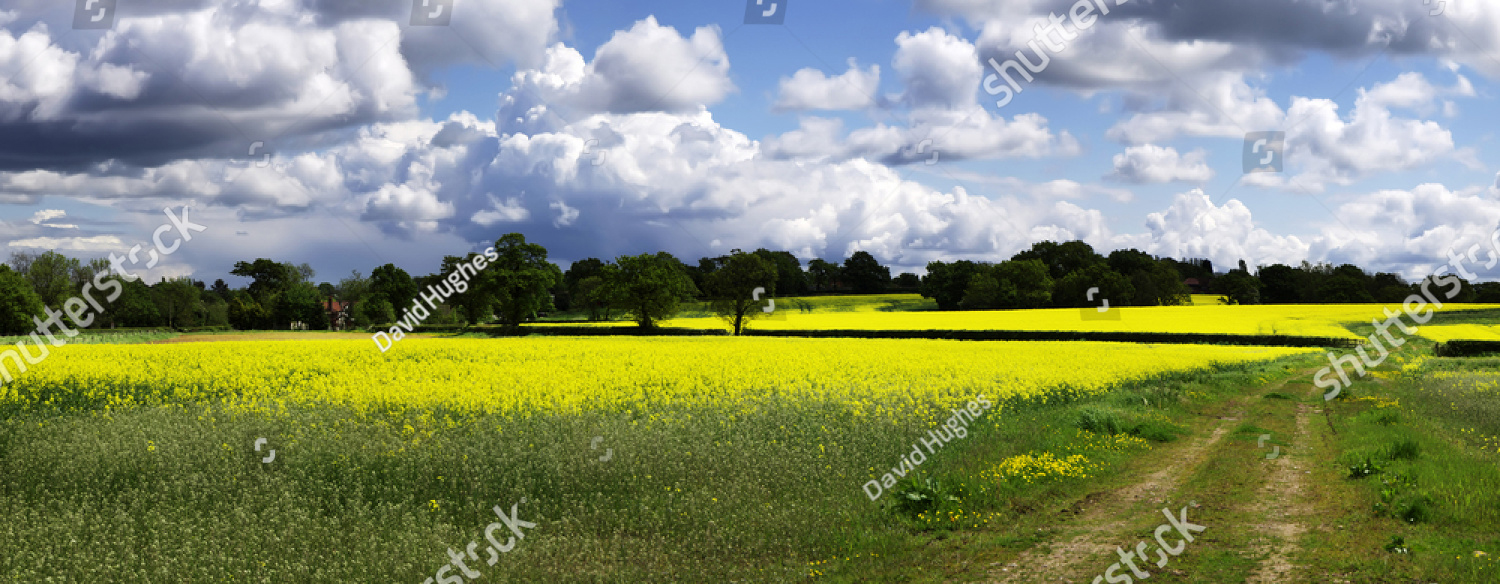 stock-photo-a-field-of-oil-seed-rapeseed-31596982