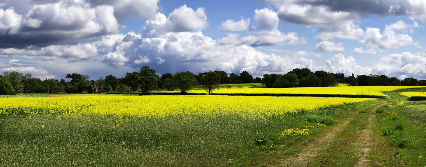 field oil seed rapeseed